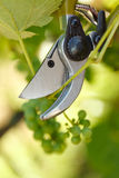 Pruner cutting grape tree Royalty Free Stock Image