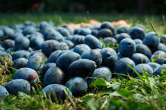 Prunes Photographie stock