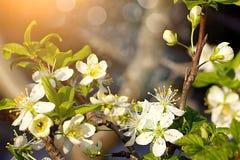 Prunes fleurissantes dans le jardin au printemps Image stock