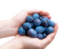 Prunes in hands Stock Images