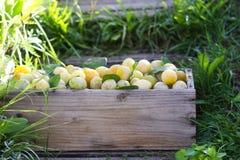 Prunes jaunes fraîches Fruits mûrs dans une boîte en bois sur l'herbe verte photos stock