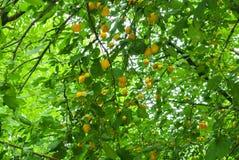 Prunes jaunes fraîches sur la branche au verger Image libre de droits