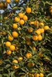 Prunes jaunes mûres sur l'arbre Arbre fruitier Images libres de droits