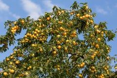 Prunes jaunes mûres sur l'arbre Arbre fruitier Image stock