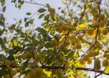 Prunes jaunes sur une branche dans le jardin photo libre de droits