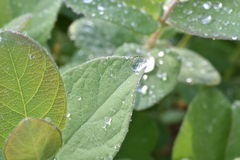 Prunes. Leaves plum washed by water droplets Royalty Free Stock Images