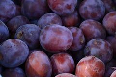 Prunes mûres recueillies dans le jardin de fruit Photos libres de droits