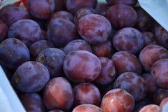 Prunes mûres recueillies dans le jardin de fruit Photographie stock libre de droits