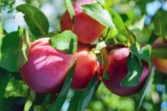 Prunes mûres (reine-claude de variété) sur les branches vertes images libres de droits