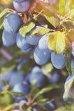 Prunes mûres sur la branche Photo stock
