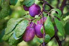 Prunes mûres sur la branche avec la rosée Photographie stock libre de droits