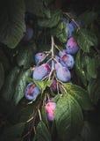 Prunes mûres sur les feuilles d'arbre autour image libre de droits