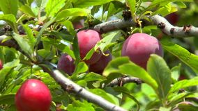Prunes mûres sur une branche parmi des feuilles banque de vidéos