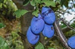 Prunes noires sur l'arbre Image stock