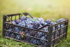 Prunes organiques fra?ches dans la caisse photo stock