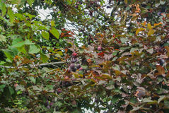 Prunes pourpres fraîches sur la branche au verger avant la récolte Photographie stock
