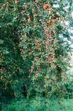 Prunes rouges de fin d'été sur l'arbre s'élevant sauvage prunier sauvage pendant le ressort et l'été photo libre de droits