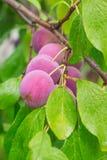 Prunes rouges mûres sur la branche Images stock