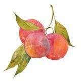 Prunes rouges sur la branche illustration libre de droits