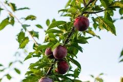 Prunes sur l'arbre, l'Europe, Hongrie images stock