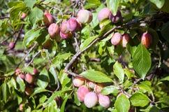 Prunes sur la branche d'arbre Images libres de droits