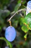 Prunes sur un arbre Photographie stock libre de droits