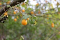 Prunes sur un branche d'arbre Images libres de droits