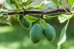 Prunes vertes pendant d'une branche Images libres de droits