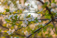 Prunier de cerise de fleur Photos stock
