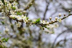 Prunier de cerise La prune de cerise fleurit les fleurons blancs avec les pétales doux Photo stock