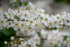 Prunier en fleur image libre de droits