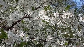 Prunier fleurissant au printemps Balancement de fleurs blanches dans le vent banque de vidéos