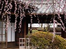 Prunier fleurissant dans le jardin japonais traditionnel images libres de droits