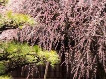 Prunier fleurissant dans un jardin japonais image stock