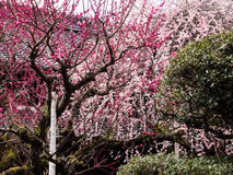 Pruniers fleurissant dans un jardin japonais image stock