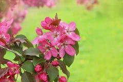 Prunifolia de Malus de fleurs Image libre de droits