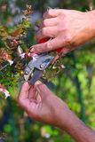 Pruning. Close up of a men's hands with shears pruning the bushes Royalty Free Stock Photo