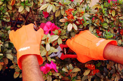 Pruning. Two gloved hands pruning a plant Royalty Free Stock Image