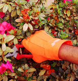 Pruning. A gloved hand pruning a flowering plant royalty free stock photo