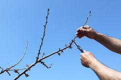 Pruning Royalty Free Stock Photo