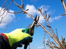 Pruning Royalty Free Stock Photography