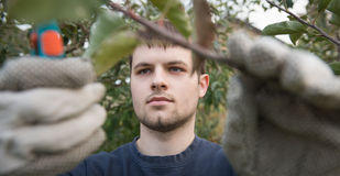 Pruning. Portrait of young man pruning branch Royalty Free Stock Photo