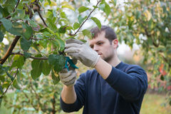Pruning. Portrait of young man pruning branch Stock Image