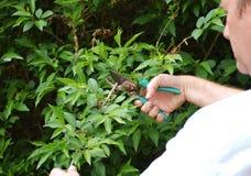 Pruning Stock Image
