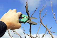 Pruning apple tree Stock Image