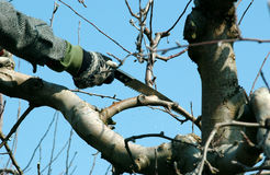 Pruning apple tree Royalty Free Stock Photos