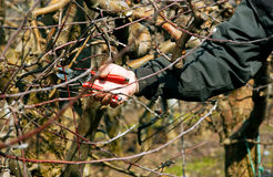Pruning apple tree Stock Photography