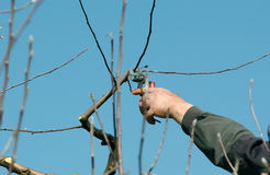 Pruning apple tree. Picture of a  Pruning apple tree Royalty Free Stock Photos