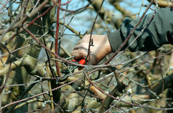 Pruning apple tree Stock Image