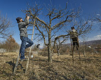 Pruning apple trees Stock Photography